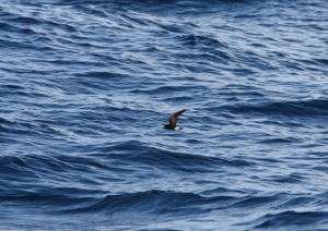 This little guy I think is a stormy petrel?