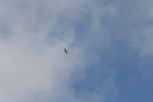 The usual view of a frigate bird, soaring high.