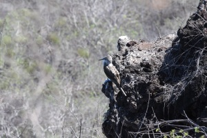 Blue-footed booby, unique to the Galapagos.  This is my one photo (so far) where you can zoom in and see the feet.
