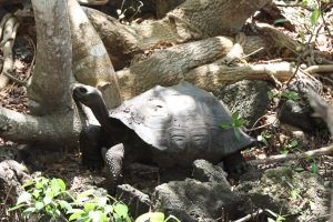 Just another tortuga, except all the others were in a breeding area; this one is in the wild.