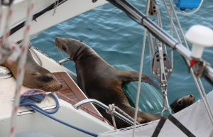 Hey Tim, how did the big green fender work for keeping the sea lions off the boat...?
