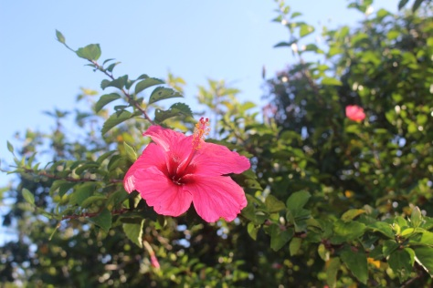 Hibiscus, I think?