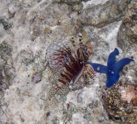 You know I don't do underwater photos; this is a through-the-water photo. The blue is a starfish.