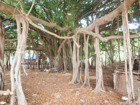 Another look at the same banyan tree