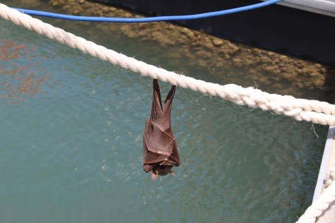 A fruit bat decides to spend the day on a dock line