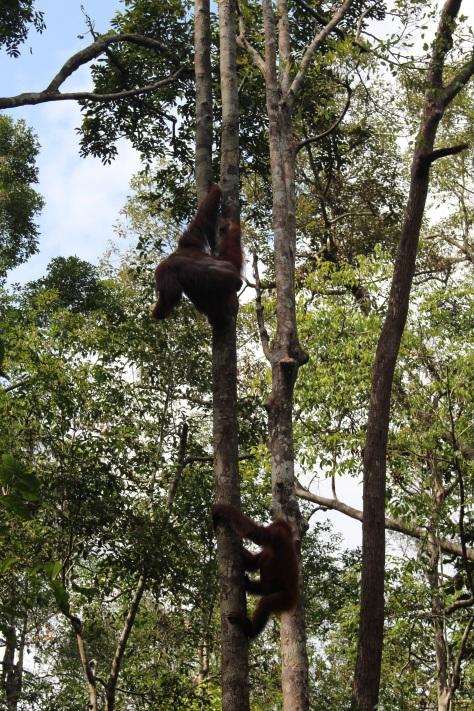 Time for more orangutans