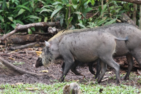 Wild (sort of) boars hang around this feeding station, picking up scraps