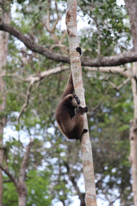 A gibbon came for a snack, too.