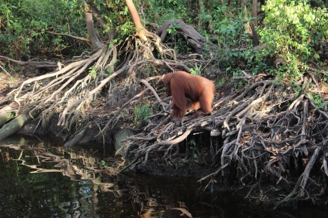 One last glimpse of an orangutan on the river bank