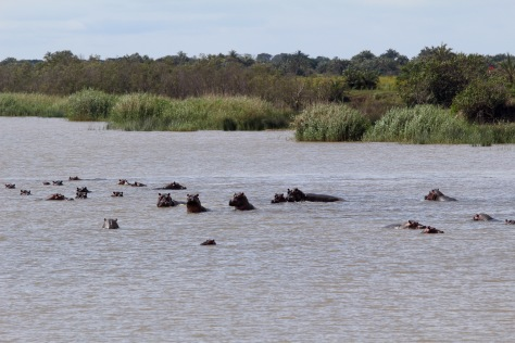 Hippos (they are all standing in the water; they don't swim)