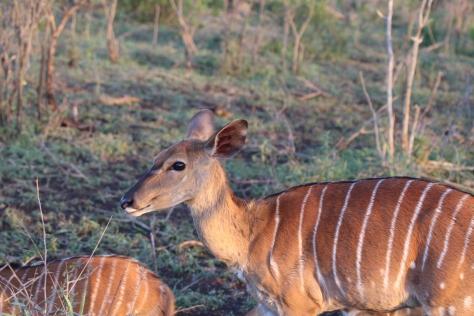 Nyala (female)