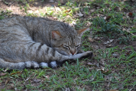 African wild cat. If it looks a lot like a house cat, they have common ancestors and lots of cross breeding. Here the keep the breed pure, notably with longer legs than our house cats.