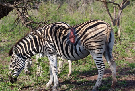 This zebra appears to have been attacked by a lion last night, and remarkably has survived...