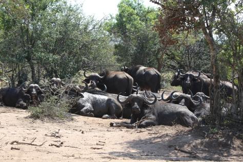 Buff herd