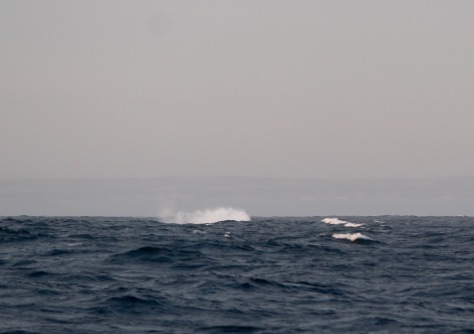 Add this to my collection of bad whale shots. A large humpback did a huge breach. I got the splash after...