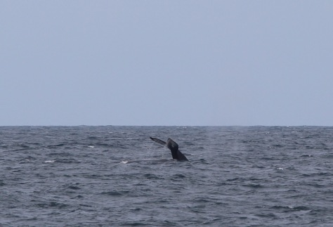 Yet another whale-in-the-distance photo. Tahawus reported a whale within 50 feet of their boat, but we had no such heart-stopping excitement.