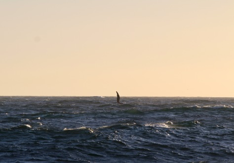 Lots of whales around the first evening, but the best I could do was this shot of a fin slapping the water.