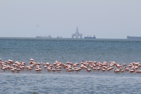 First stop on our tour is to see flamingos. The oil rig in the background is simply parked here, taken off station because it is not profitable to operate with low oil prices.