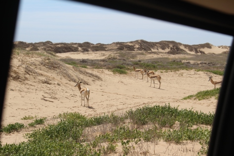 Springbok, through the car window.