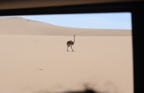 Ostrich, through the car window.