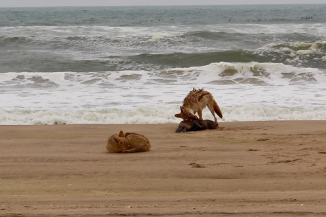 On the way back, there are jackals lunching on a dead seal.