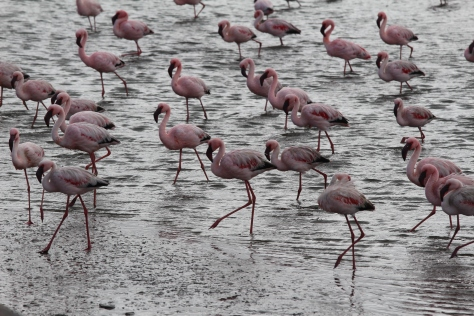 And lots more flamingos...