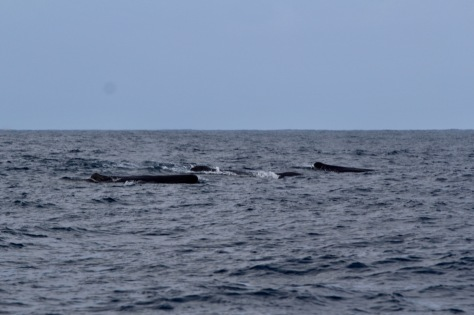 Whales en route to St Helena