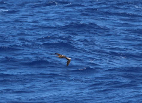 Swooping in on two flying fish -- look carefully