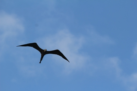 Frigate bird...reminiscent of the Galapagos