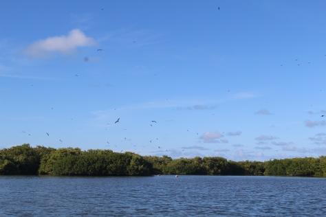Frigate birds circling